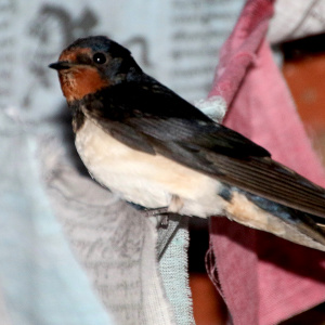 A Taraloka swallow.  In 2019, no swallows bred at Taraloka, for the first time.