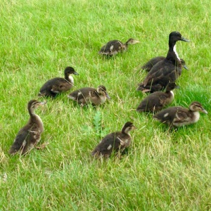 ducks at Vajrasana